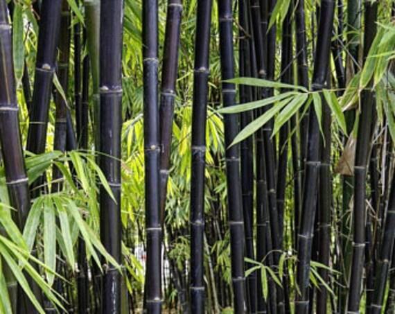 10 Seeds Phyllostachys Edulis Phyllostachys Pubescens Moso Bambu