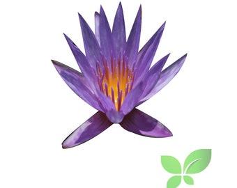 Live Aquatic Plant White Nymphaea Kao mongkol Tropical Water Lilies Tuber B2G1