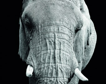 Elephant from South Africa