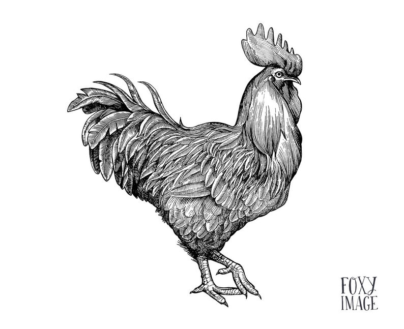 photograph about Rooster Printable identified as Chicken Print, Hen, Printable Wall Artwork, Chicken Example, Cock Example, Cock Print Artwork, Chicken PNG, Electronic Obtain, Cock
