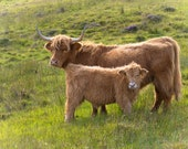 Highland Cows Mother and Calf