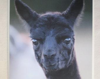 Alpaca greeting card - Baby alpaca