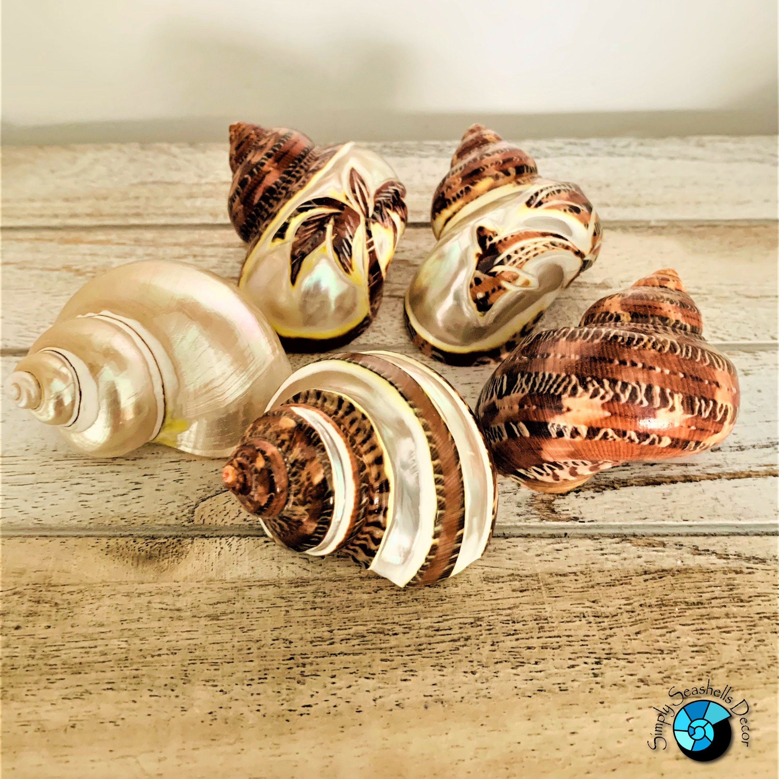 Turbo Shells Decor (5 pcs) Beach Home Decor - Hermit Crab Shell - Natural  Seashells
