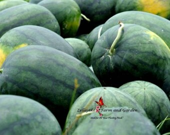 Giant Watermelon Iwanaga Giant F1 10 Seeds  Pack  Rare Japan Cultivar Melon