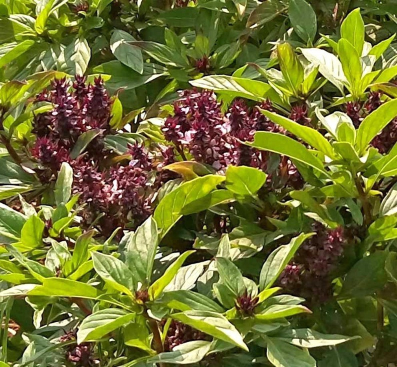 Herb Seeds Basil Siam Queen 350 Seeds