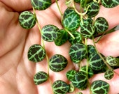 Peperomia Prostrata Turtles on a String Cuttings