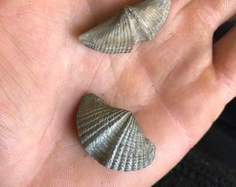 brachiopod fossils for sale