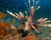 Lion Fish, Underwater Photography, Color, Scuba, Swimming, Ocean, Tropical, Vacation, Wall art, Home Decor, Interiors