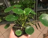 Pilea peperomiodes- friendship plant- chinese money plant- 4 quot pot
