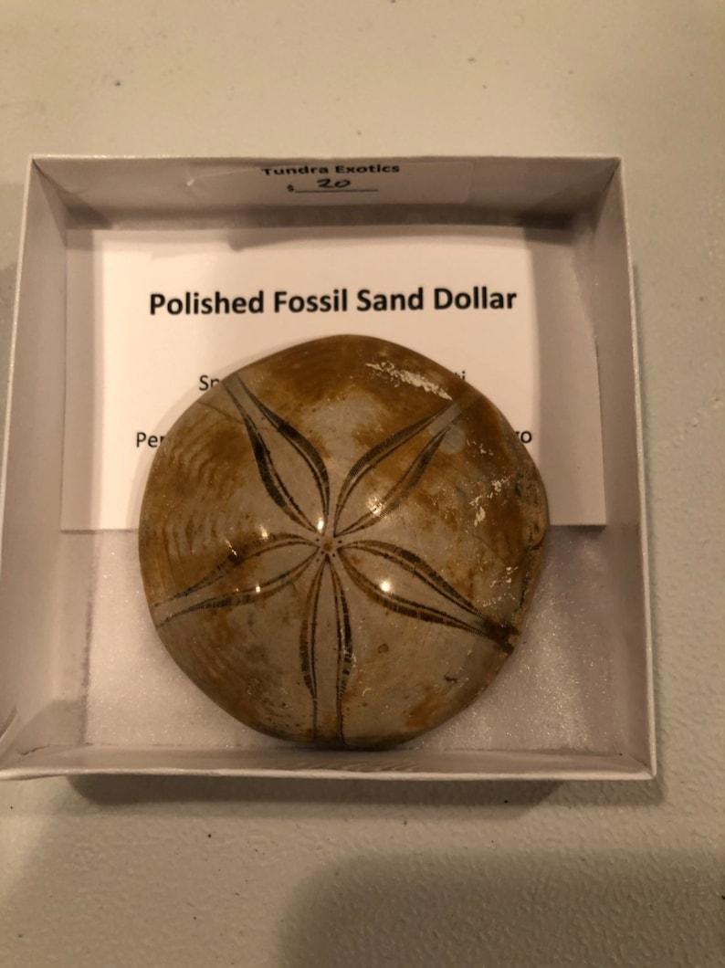 Polished fossil sand dollar