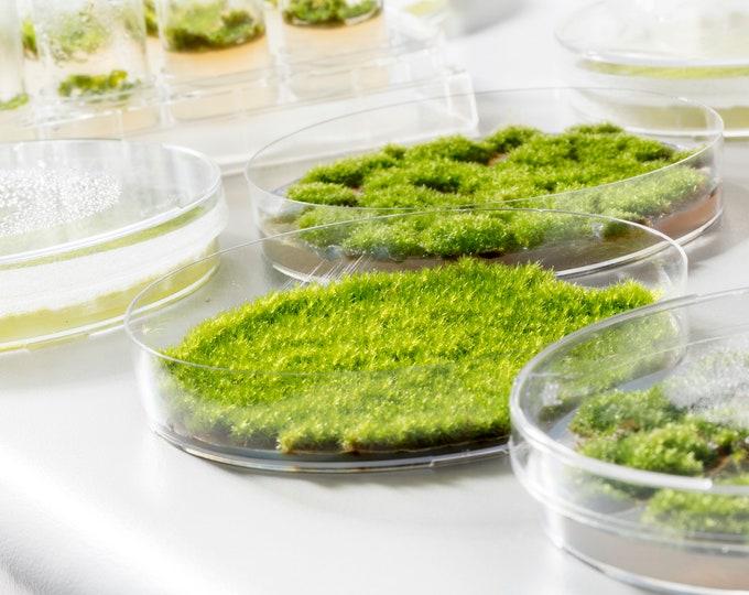 Mossebelle - DIY Moss Kit