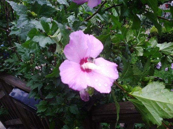 Rose Of Sharon Seeds Etsy