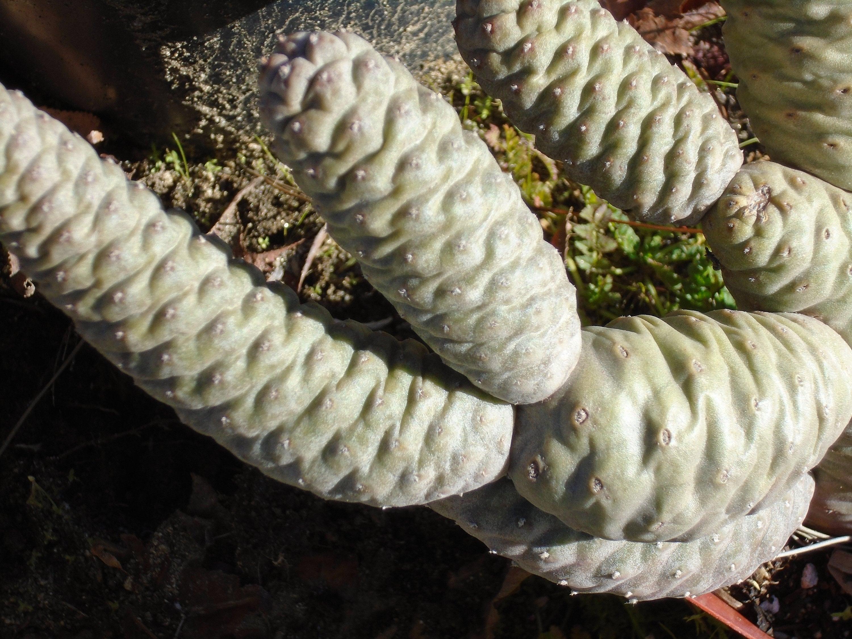 2 segments pine cone cactus tephrocactus strobiliformis