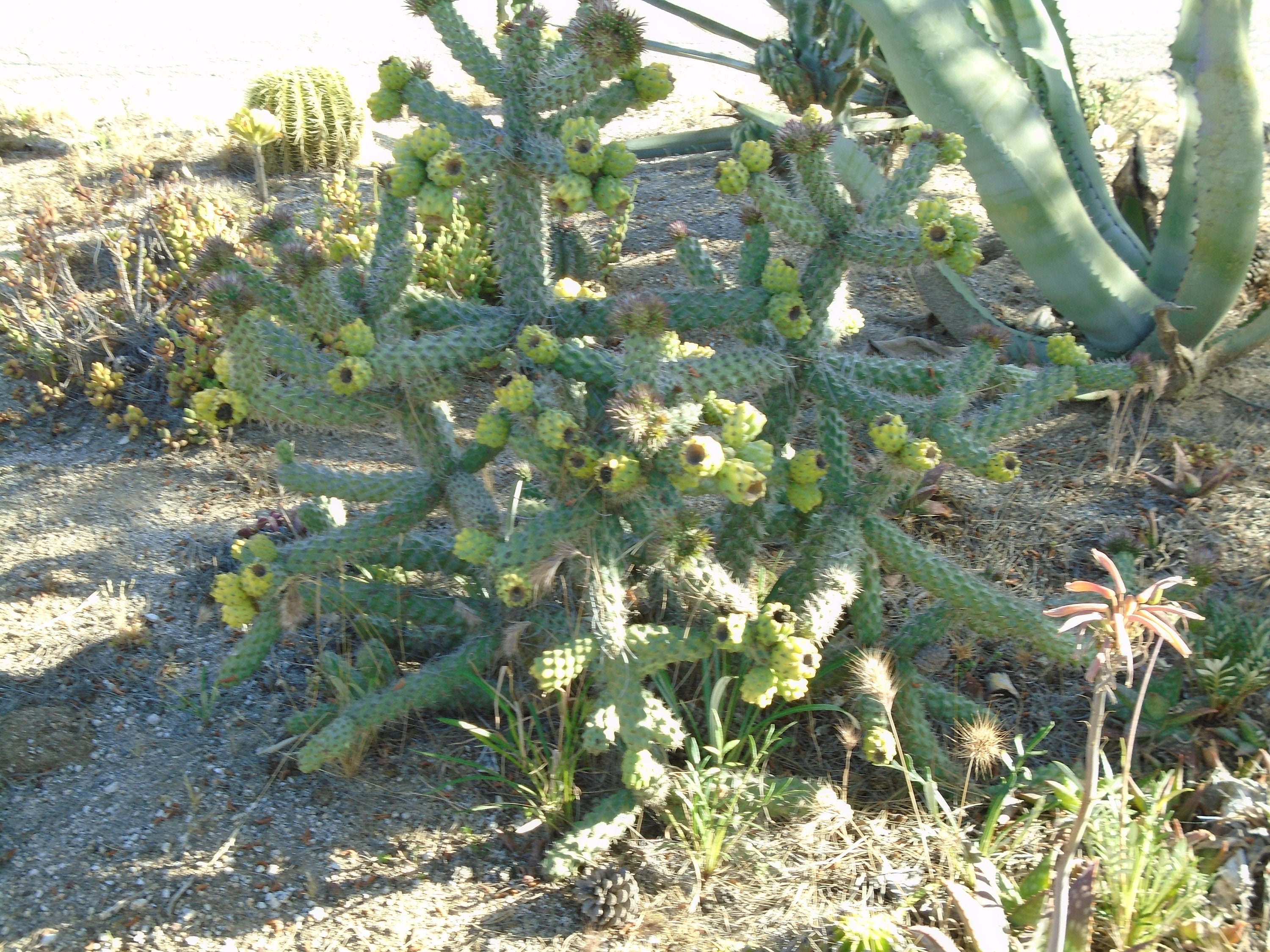 3 stems cane cholla cylindropuntia