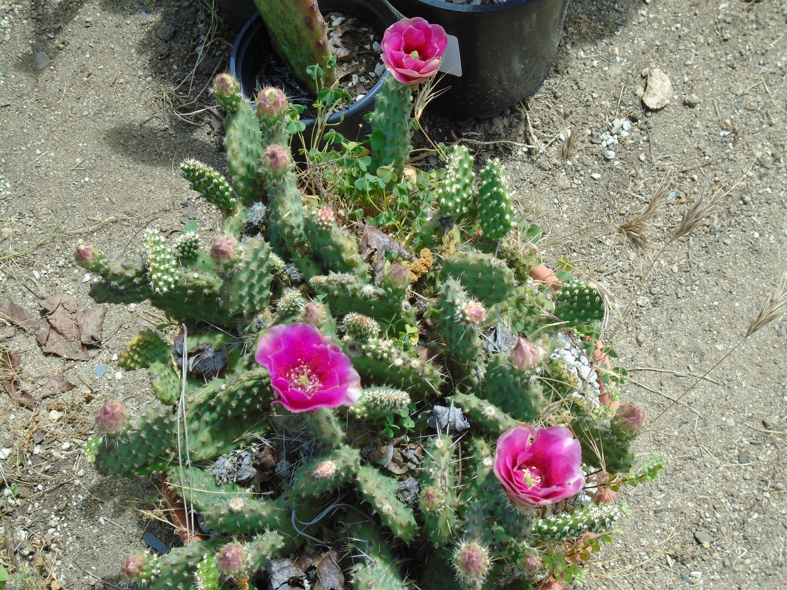 1 pad red gem miniature opuntia