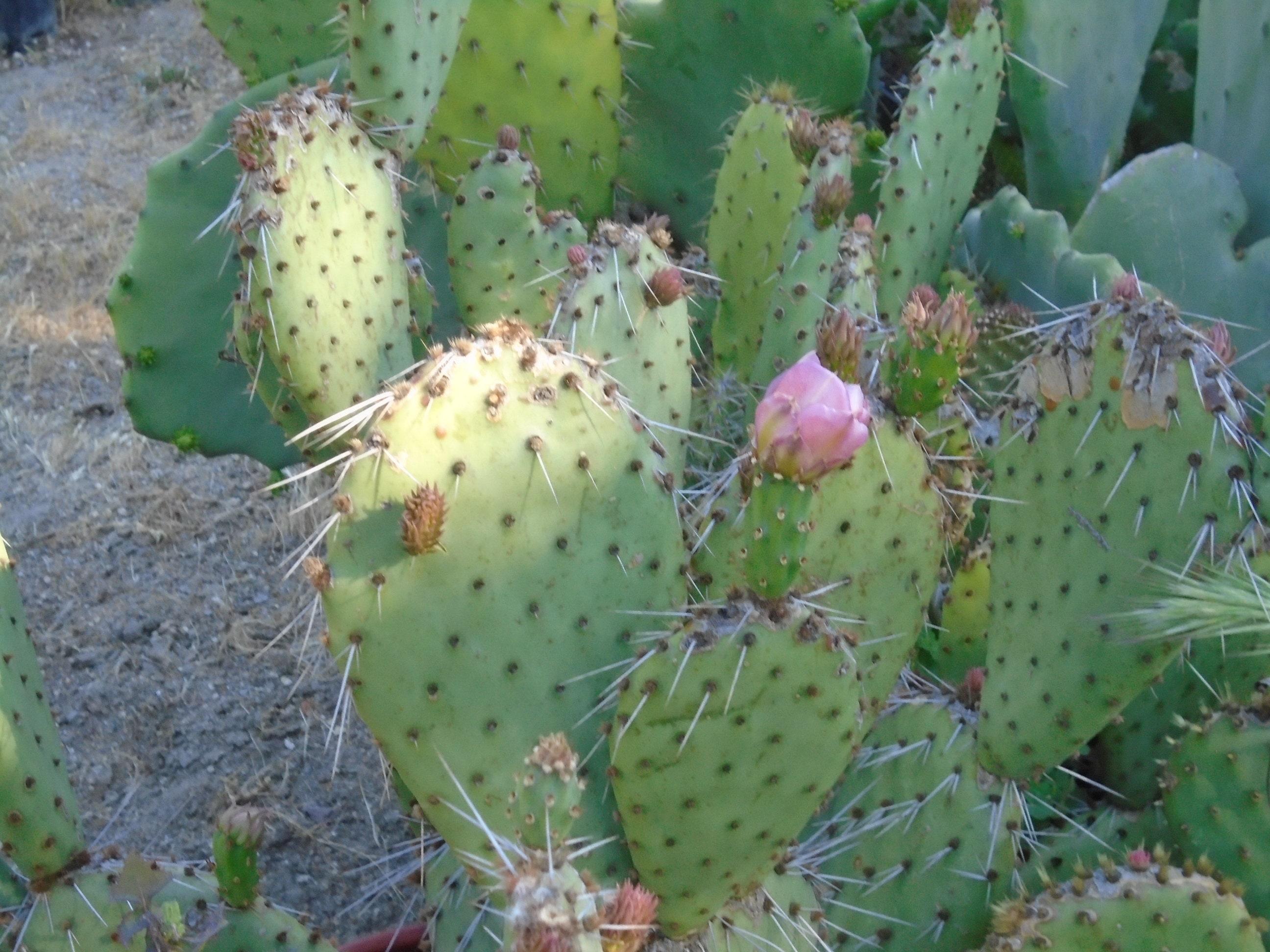 opuntia desert skies prickly pear