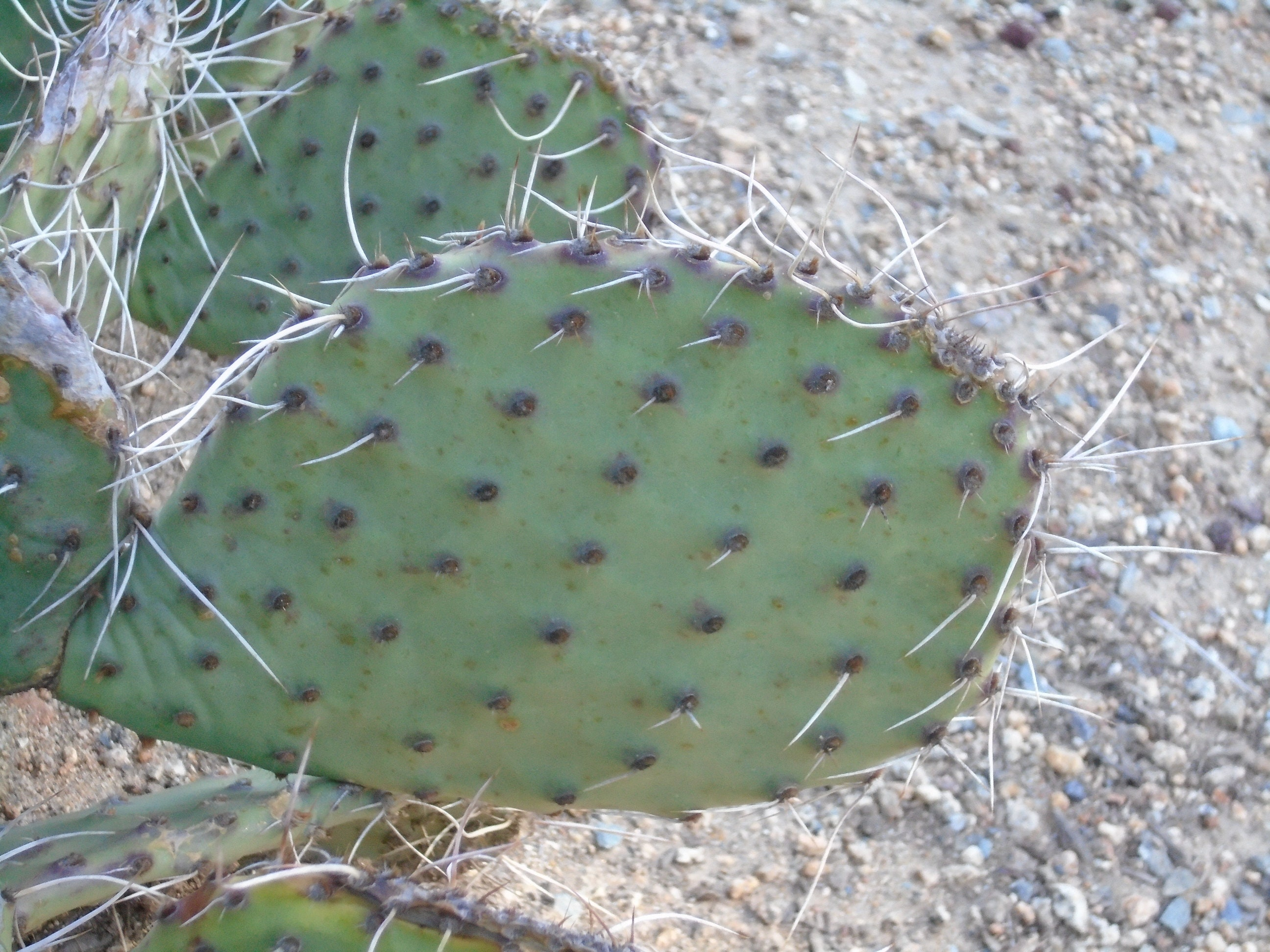 opuntia tommy boy cold hardy