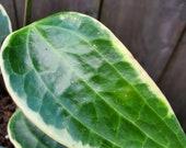 Hoya Macrophylla Variegata, Rare Live Plant