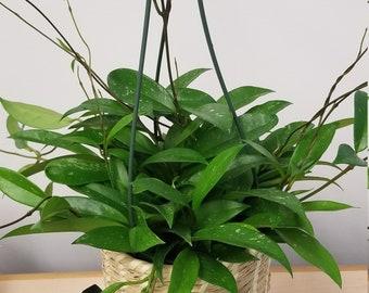 Hoya Plant Etsy