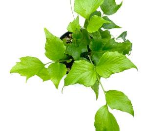 Cyrtomium falcatum Rochfordianum 'Japanese Holly Fern'