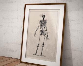 Skeleton Print, Instant Downloa, vintage illustration , scientific illustration, antique looking drawings, human anatomy