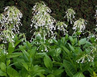 3000 Nicotiana Sylvestris Seeds Flowering Tobacco Woodland Tobacco