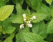 100 Pcs Organic Lemon Balm Seeds Melissa officinalis P065 Sweet Highly Beneficial and Medicinal Perennial Plant