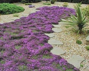1000 Pcs Ground Cover Creeping Thyme Seeds-THYMUS SERPYLLUM- -Magic Carpet--FL196