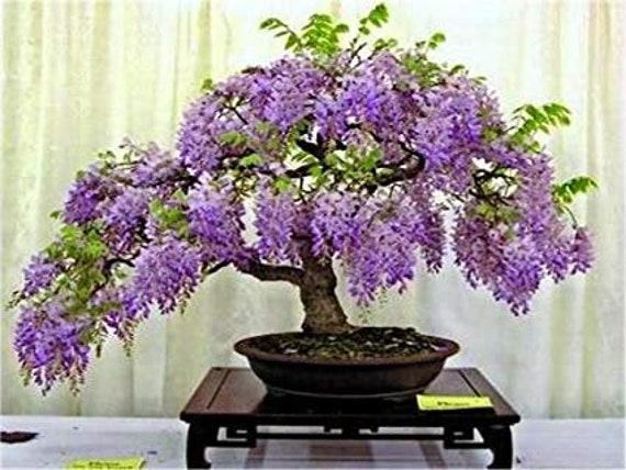 15 Pcs Rare Genuine Blue Jacaranda Tropical Tree Seeds Etsy