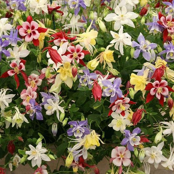 Aquilegia Mrs 25 Perennial Scott Elliot Flower Seeds