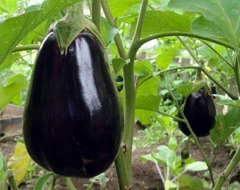 Eggplant Organic Seeds - Heirloom, Open Pollinated, Non GMO - Grow Indoors, Outdoors, In Pots, Grow Beds, Soil, Hydroponics & Aquaponics