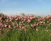 25 Prairie Wild Rose Seeds, Pink Rose, Arkansas Rose, Climbing Rose, Vining Rose, Fragrant