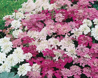 200 Ground Cover Candytuft Flower Mix Seeds Easy to Grow Perennial Zone 3-9