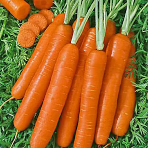 Scarlet Nantes Carrot Seeds Heirloom NON-GMO Free Shipping 500 USA Seller!