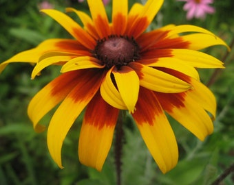 200 Gloriosa Daisy Flower Seeds Rudbeckia Hirta Perennial in Zones 3-8 Deer Resistant and Great Cut Flower