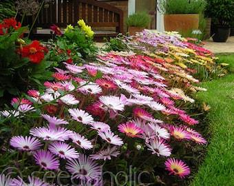 200 Ice Plant Mix, Ground Cover, Rainbow Mix Flower Seeds, Daisy like Flowers Iceplant