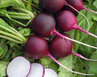 300 Violet Round Radis Seeds - Ancient Vegetables - ORGANIC Method