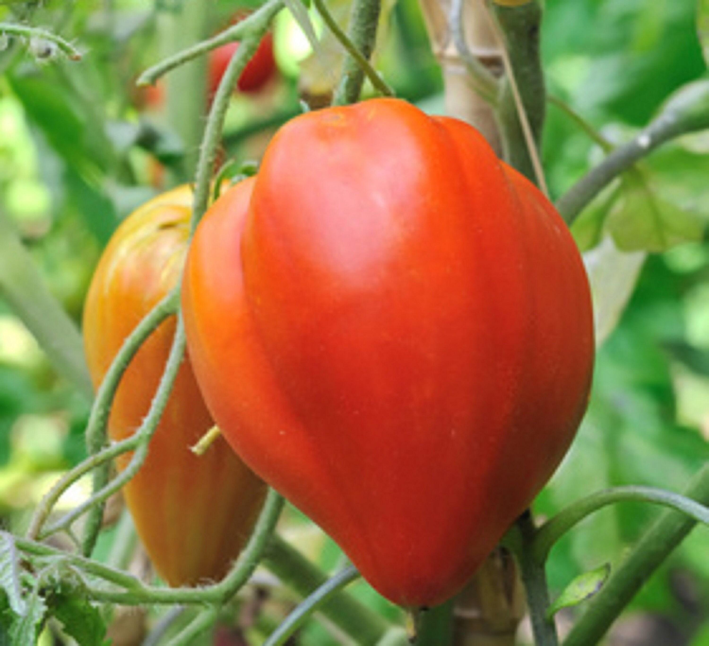 Other Plants, Seeds & Bulbs ☺50 Graines De Tomate Ancienne Marmande