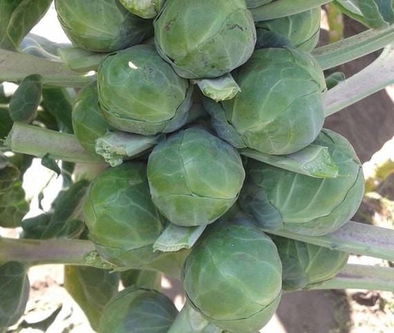 légumes jardin potager méthode BIO plante aromatique 500 Graines de Roquette