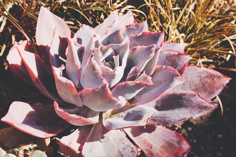 Purple Succulent, California Native Plants, Print, Fine Art, Wall Art,  Photography, Monochrome