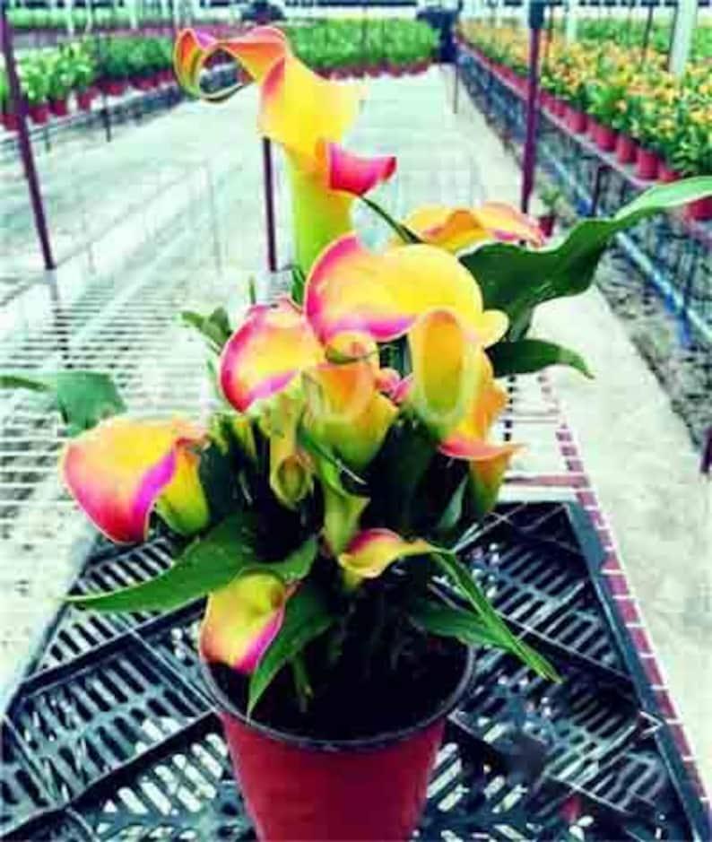 100Pcs Calla Lily Bonsai Plants Rare Indoor Potted Flowers Rhizome Zantedeschia Aethiopica Bonsai Houseplants Home Garden Plants
