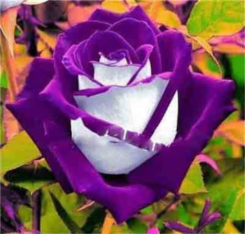 So Beautiful Roses 50 Pcsbag Germany Rare Dragon Rose Bonsai Flowering Plants For Diy Home Garden /& Balcony Mix Colors