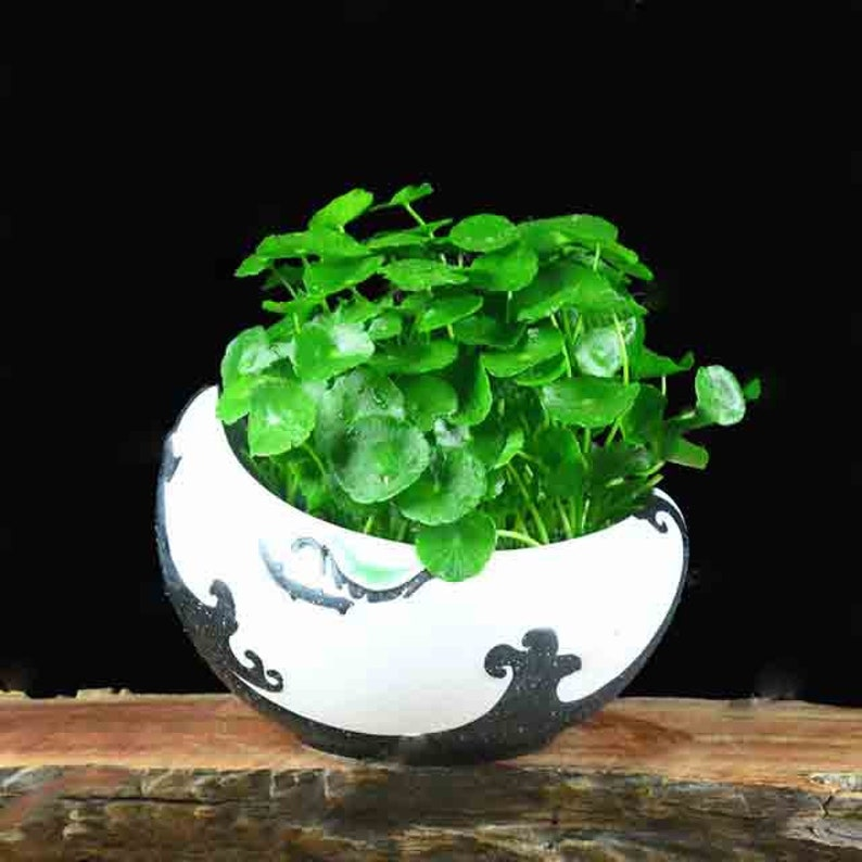 Hydrocotyle Vulgaris bonsai Potted 100 pcs Hydroponics Flower Aquarium Plants Penny Grass Best Indoor Bonsai Plant