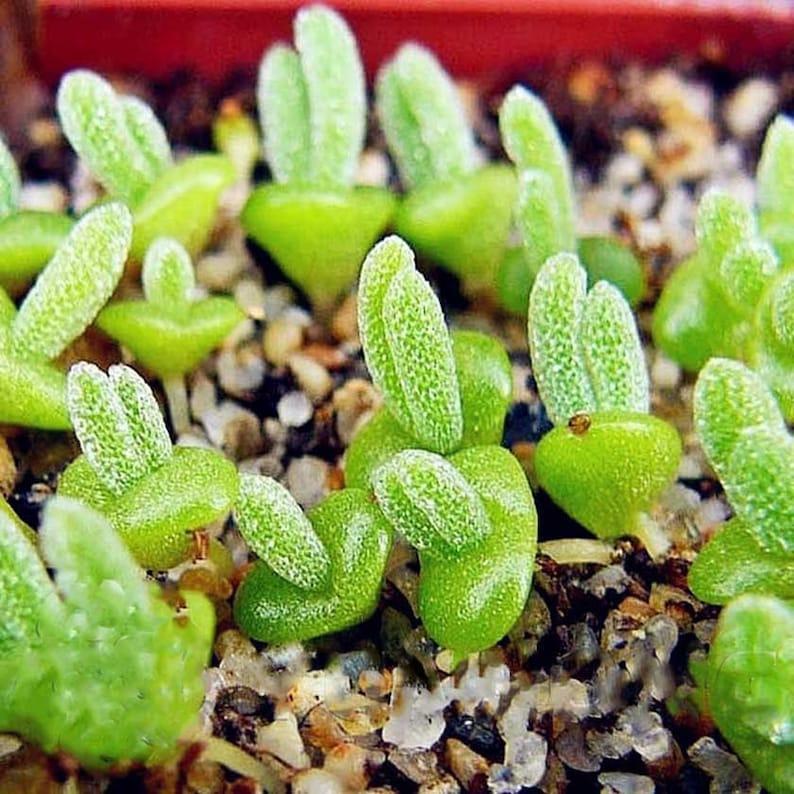 100pcs Lithops Pseudotruncatella Succulent Bunny ears Stone Potted Flower Monilaria obconica for home garden