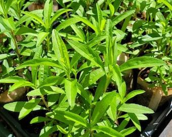 Mexican Tarragon (Tagetes lucida) - 4in pot