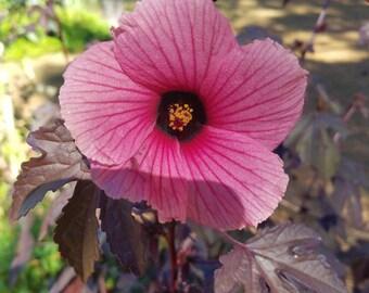 Cranberry Hibiscus(Hibiscusacetosella) - 4in pot