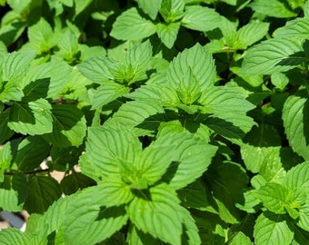 Ginger Mint- 4in pot