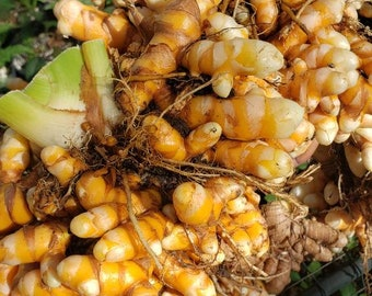 Turmeric, Yellow Indira (Curcuma zedoaria) - 6in pot