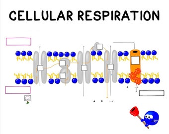 Cellular Respiration Guided Notes and Diagrams Printable Handout