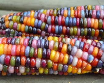80 GLASS GEM Heritage Native Corn seeds; Ornamental Rainbow-Colored Indian Corn; heirloom non-GMO